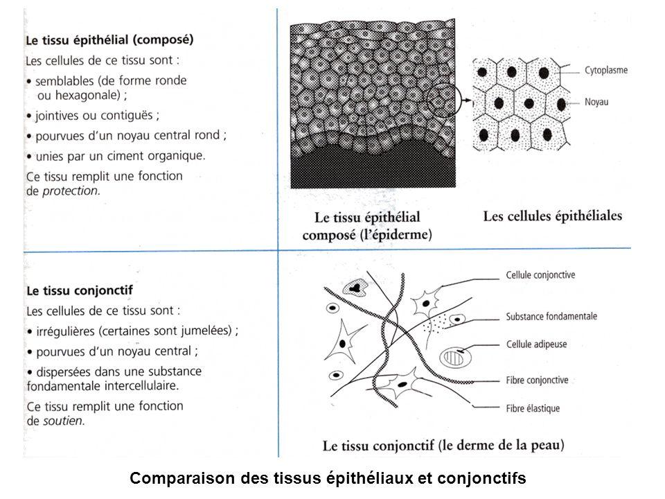 Comparaison des tissus épithéliaux et conjonctifs