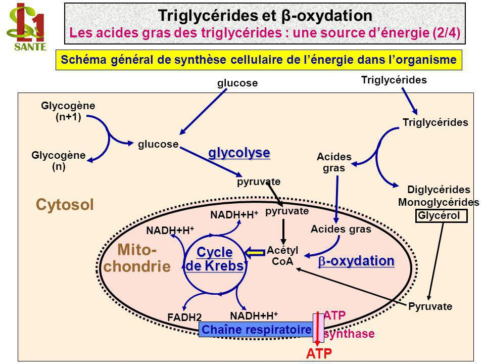 Triglycérides et β-oxydation Mito- chondrie Cytosol