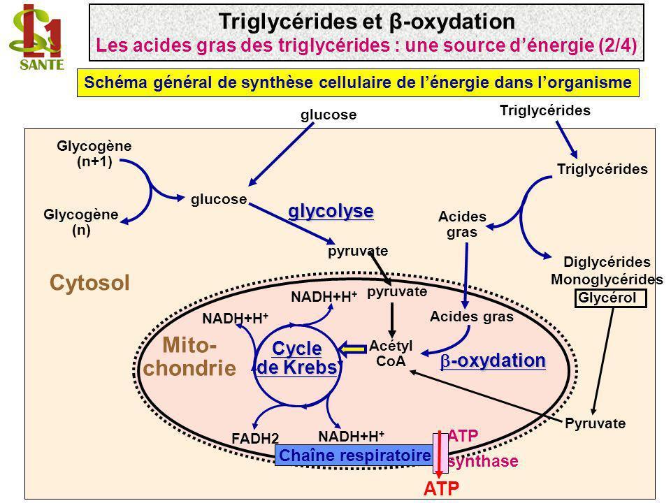 Triglycérides et β-oxydation Mito- chondrie Cytosol