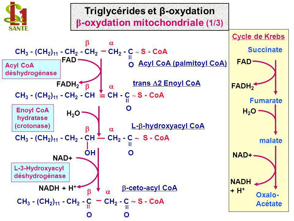 Triglycérides et β-oxydation β-oxydation mitochondriale (1/3)
