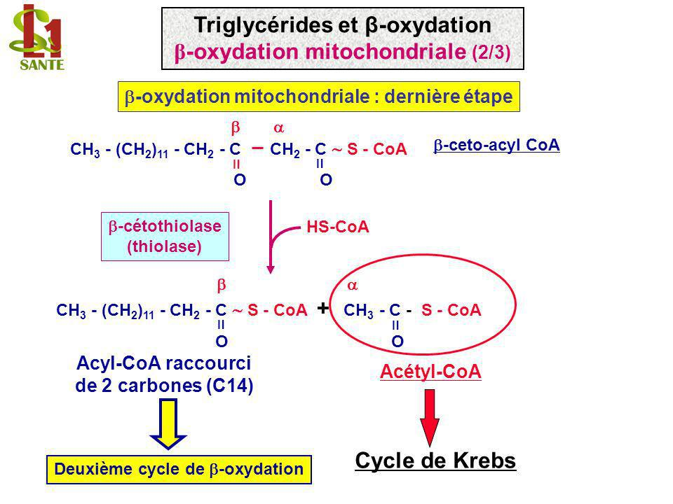 Triglycérides et β-oxydation β-oxydation mitochondriale (2/3)