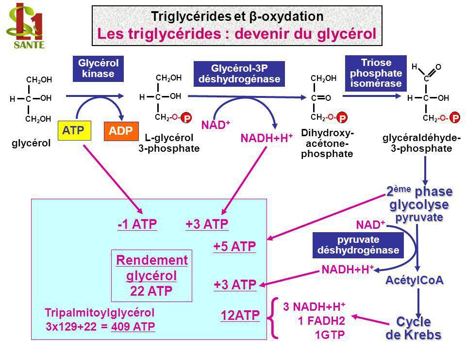 Triglycérides et β-oxydation Les triglycérides : devenir du glycérol