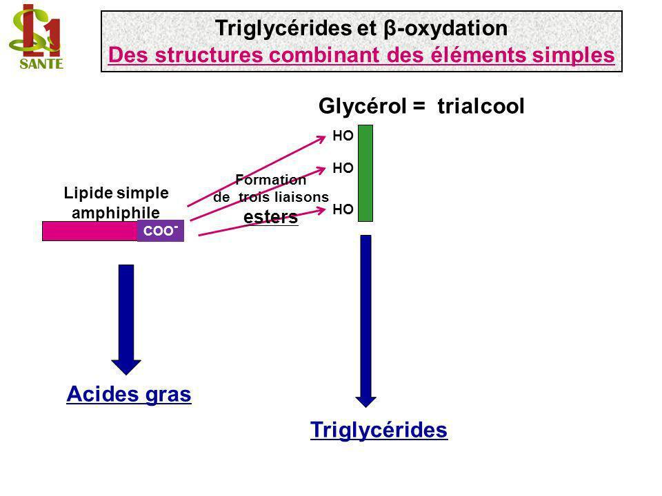 Triglycérides et β-oxydation