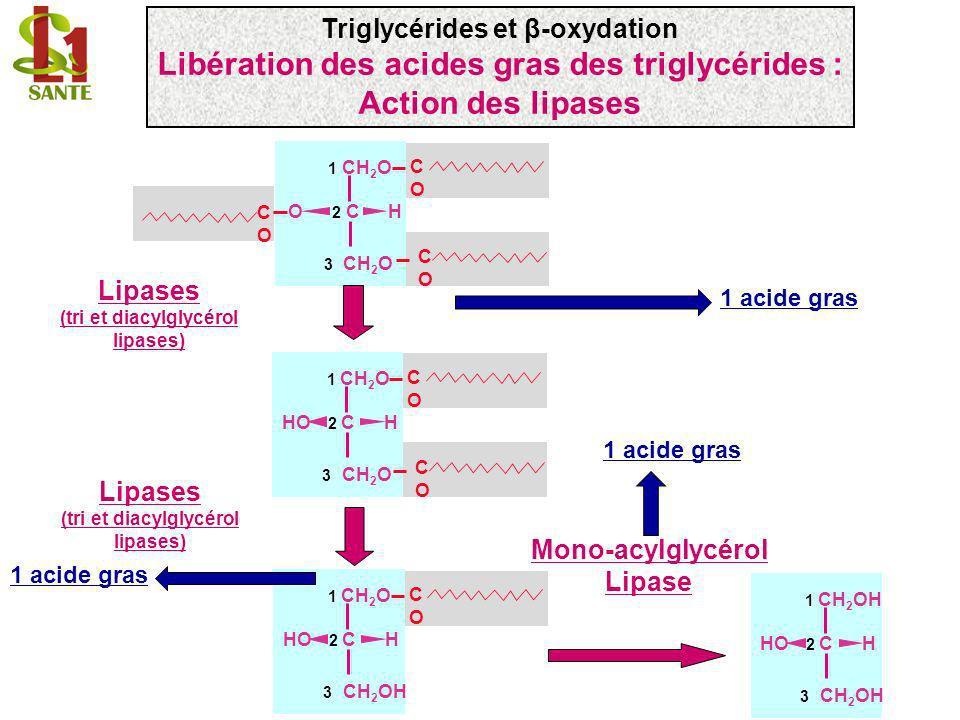Libération des acides gras des triglycérides : Action des lipases