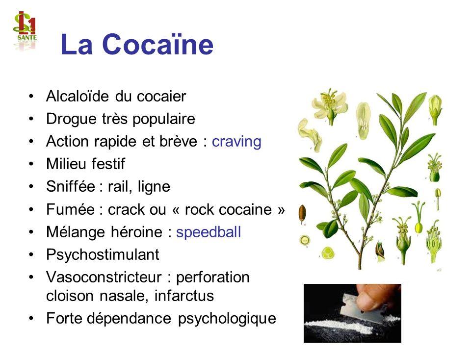 La Cocaïne Alcaloïde du cocaier Drogue très populaire