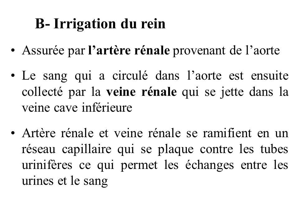 B- Irrigation du rein Assurée par l'artère rénale provenant de l'aorte