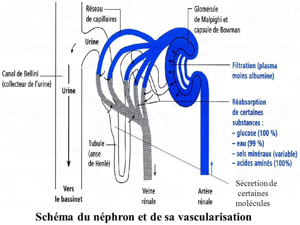 Schéma du néphron et de sa vascularisation
