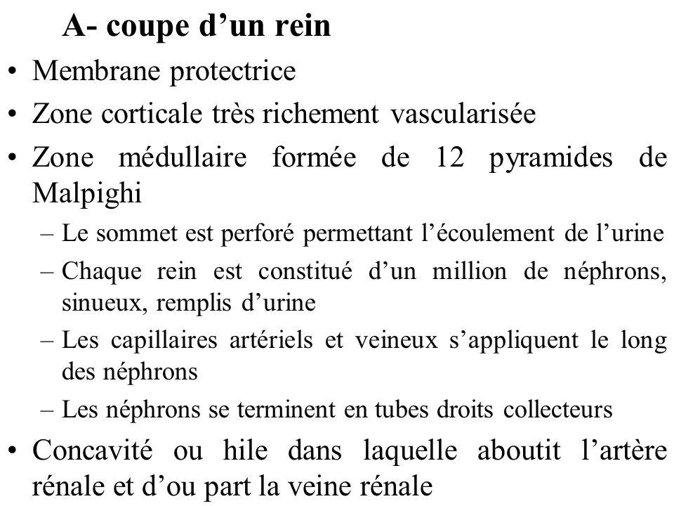 A- coupe d'un rein Membrane protectrice