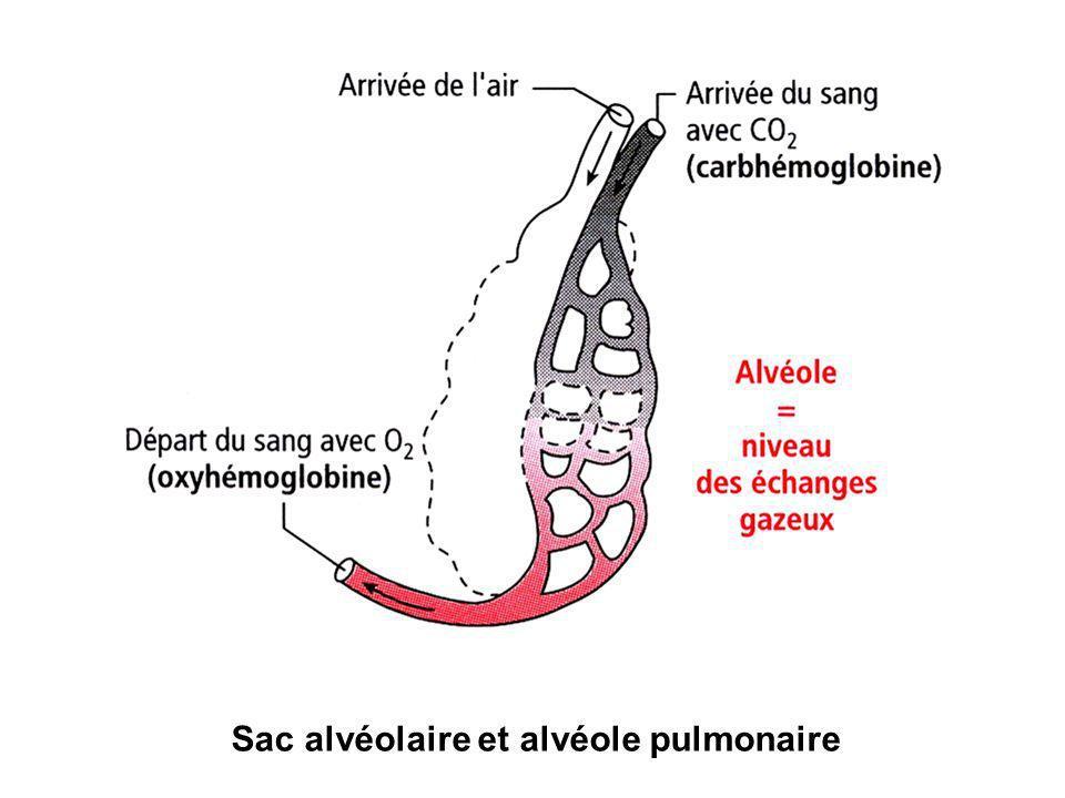Sac alvéolaire et alvéole pulmonaire