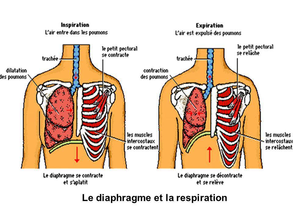 Le diaphragme et la respiration