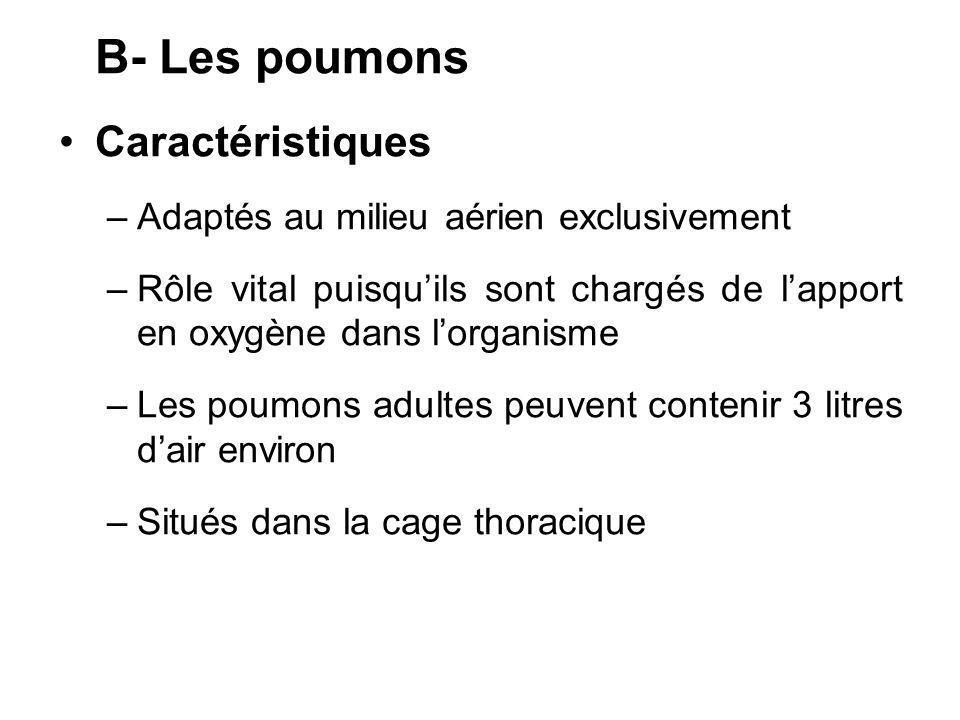 B- Les poumons Caractéristiques Adaptés au milieu aérien exclusivement