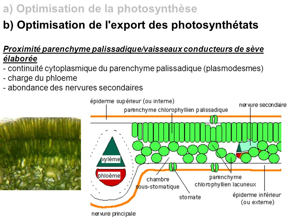 a) Optimisation de la photosynthèse