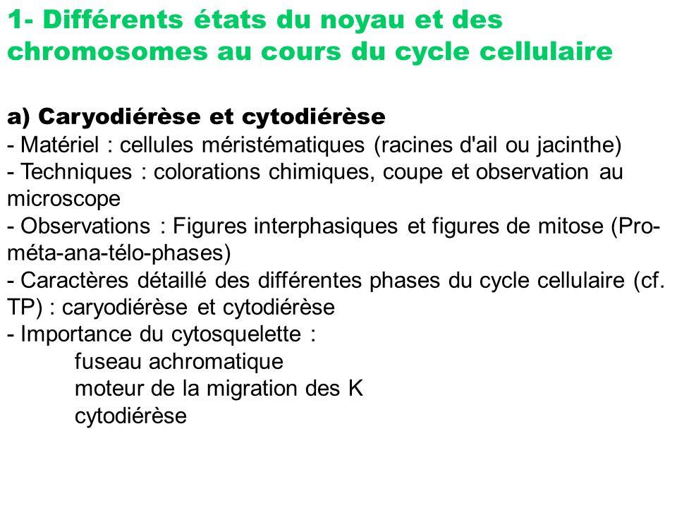 1- Différents états du noyau et des chromosomes au cours du cycle cellulaire