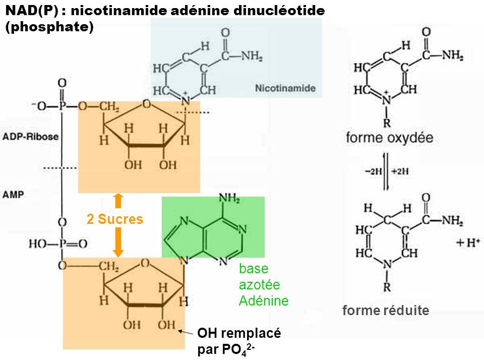 NAD(P) : nicotinamide adénine dinucléotide (phosphate)