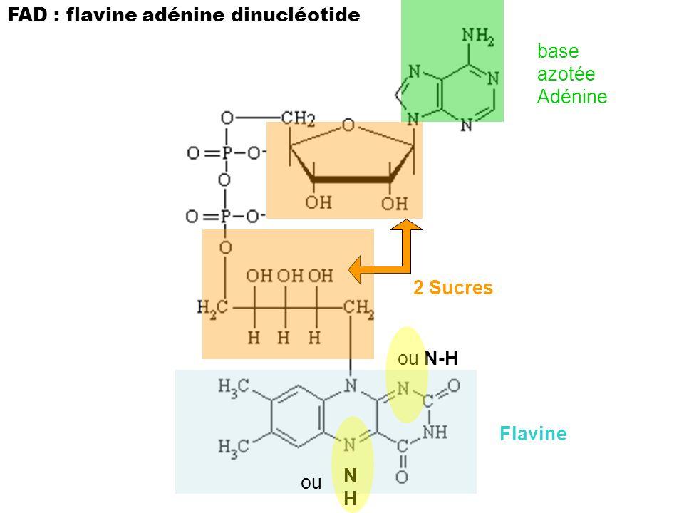 FAD : flavine adénine dinucléotide