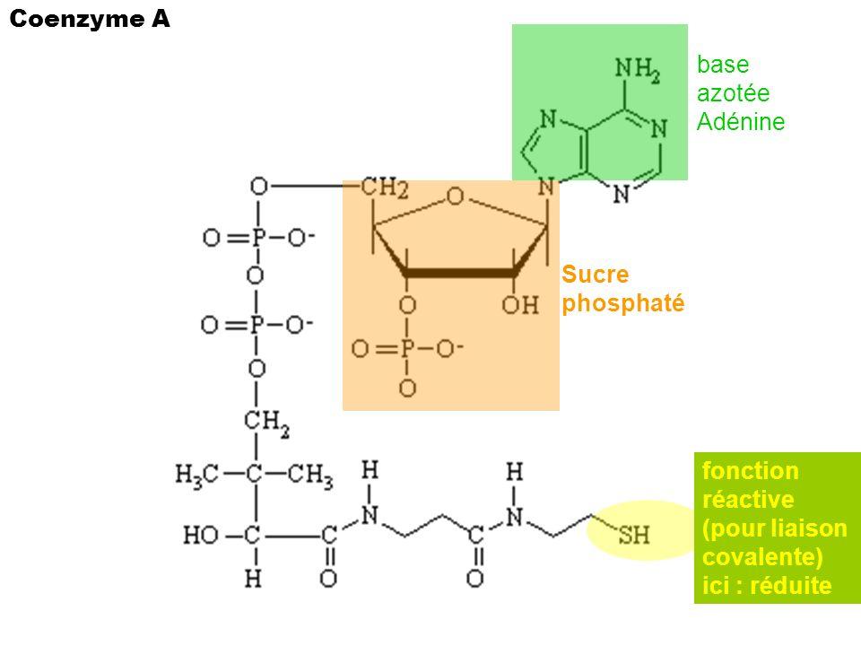 Coenzyme A base azotée Adénine. Sucre phosphaté. fonction. réactive. (pour liaison. covalente)