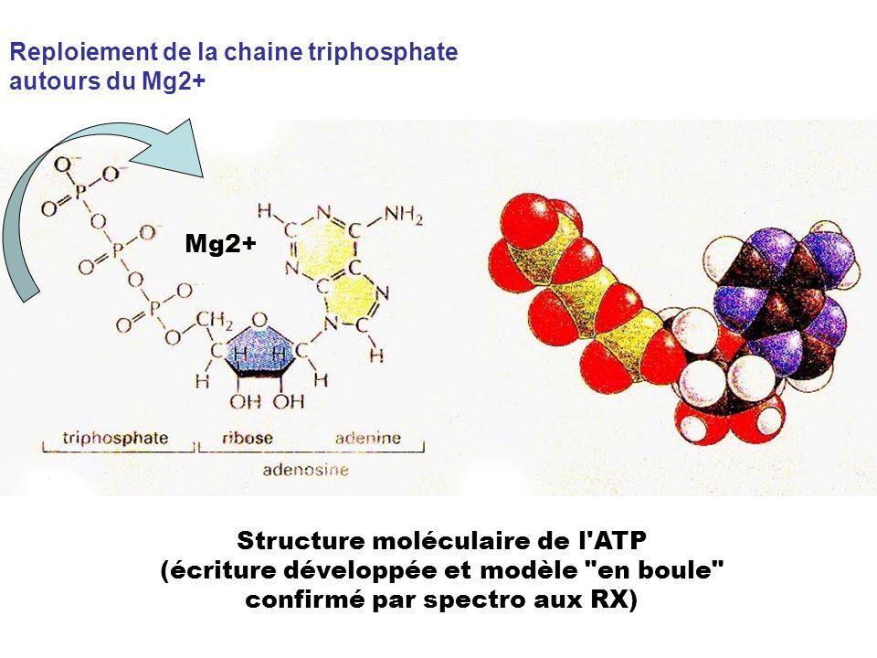 Reploiement de la chaine triphosphate autours du Mg2+