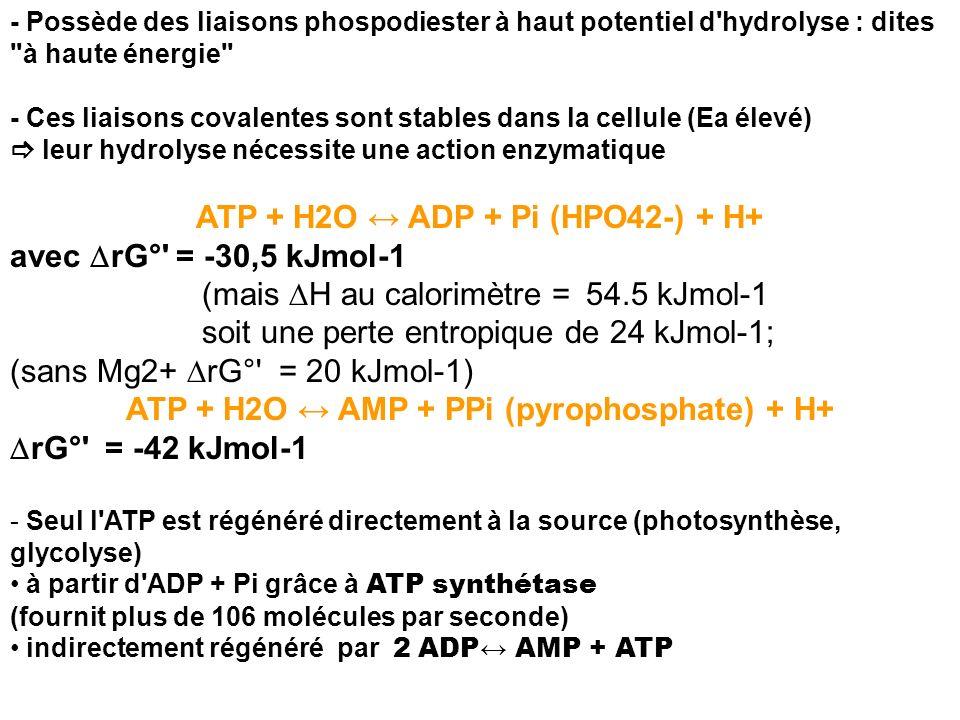 ATP + H2O ↔ ADP + Pi (HPO42-) + H+ avec DrG° = -30,5 kJmol-1