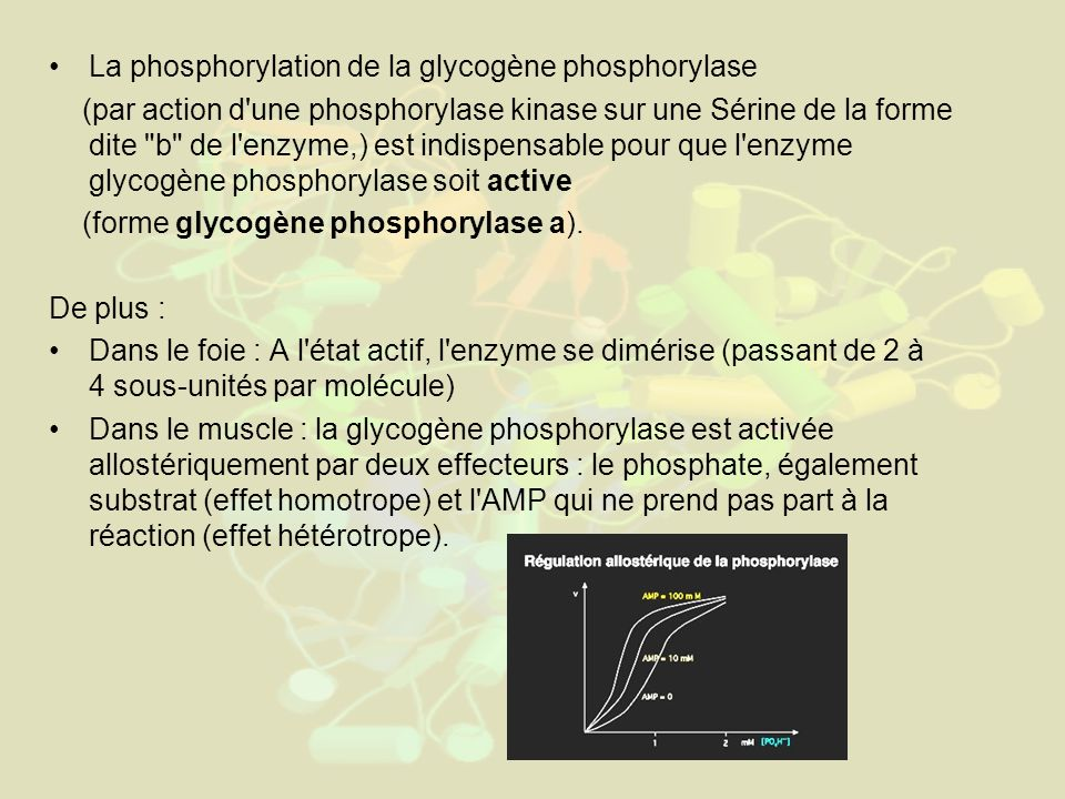 La phosphorylation de la glycogène phosphorylase