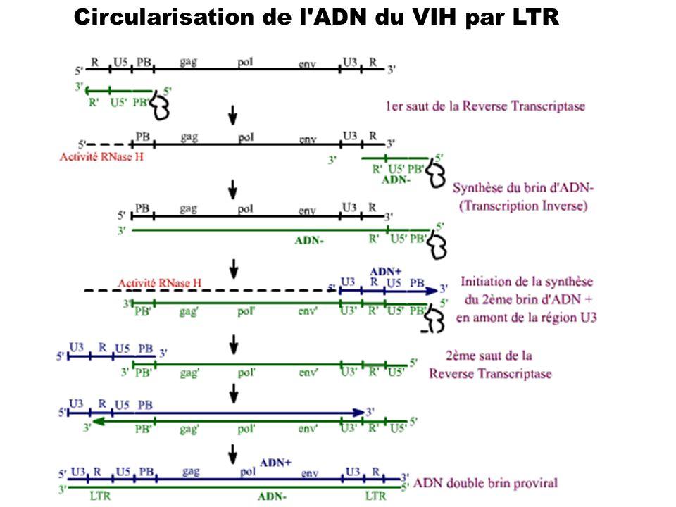 Circularisation de l ADN du VIH par LTR