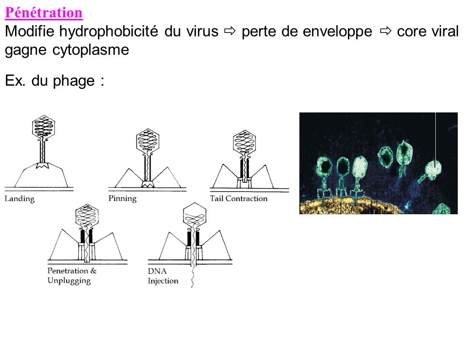Pénétration Modifie hydrophobicité du virus  perte de enveloppe  core viral gagne cytoplasme.