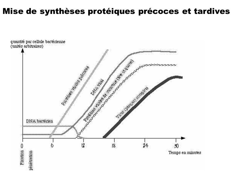 Mise de synthèses protéiques précoces et tardives
