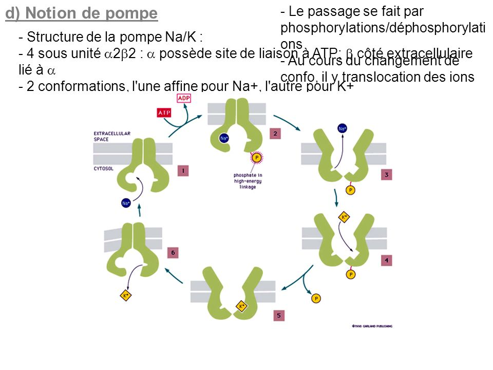 d) Notion de pompe - Le passage se fait par phosphorylations/déphosphorylations. - Au cours du changement de confo, il y translocation des ions.