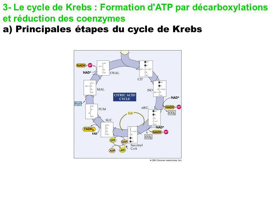 3- Le cycle de Krebs : Formation d ATP par décarboxylations et réduction des coenzymes