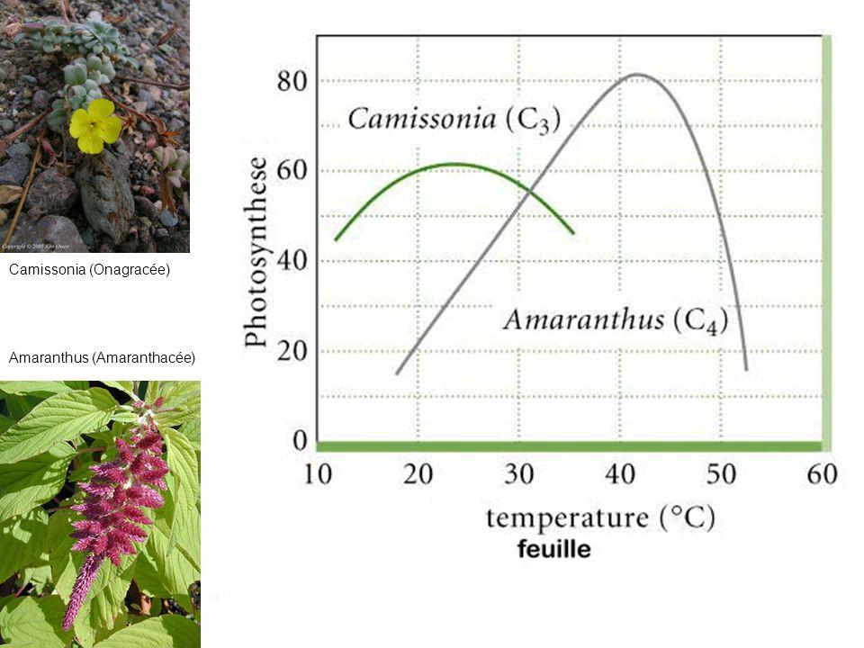 Camissonia (Onagracée)