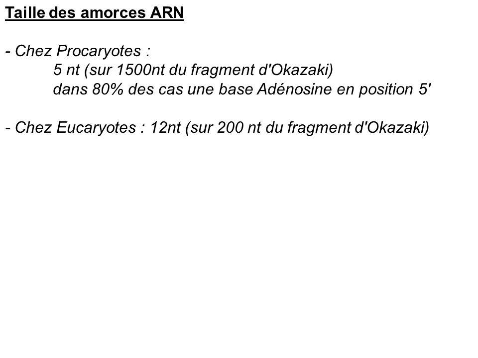 Taille des amorces ARN - Chez Procaryotes : 5 nt (sur 1500nt du fragment d Okazaki) dans 80% des cas une base Adénosine en position 5