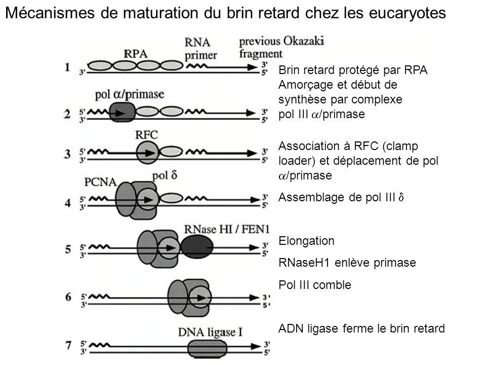 Mécanismes de maturation du brin retard chez les eucaryotes