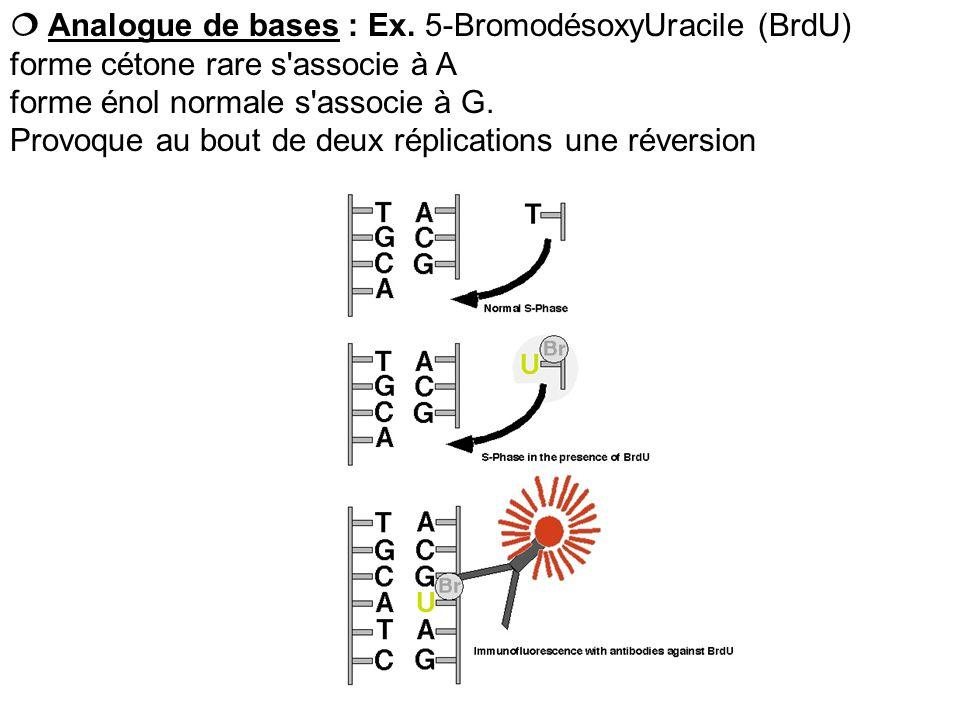  Analogue de bases : Ex. 5-BromodésoxyUracile (BrdU)