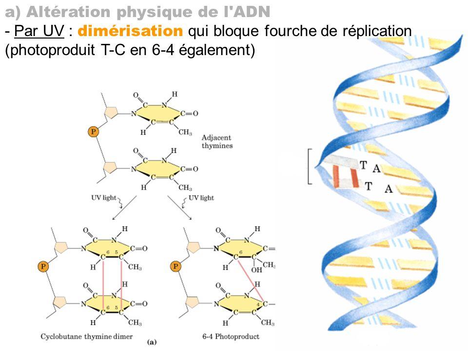 a) Altération physique de l ADN