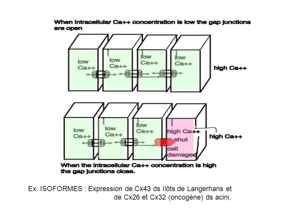 Ex. ISOFORMES : Expression de Cx43 ds Ilôts de Langerhans et