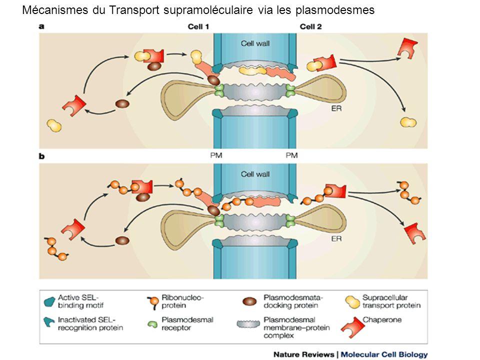 Mécanismes du Transport supramoléculaire via les plasmodesmes