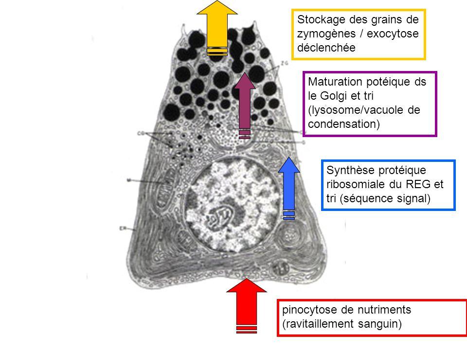 Stockage des grains de zymogènes / exocytose déclenchée