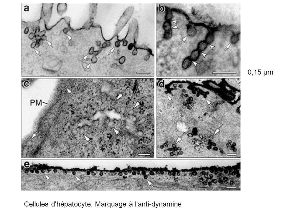 0,15 µm Cellules d hépatocyte. Marquage à l anti-dynamine