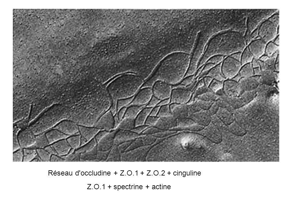 Réseau d occludine + Z.O.1 + Z.O.2 + cinguline