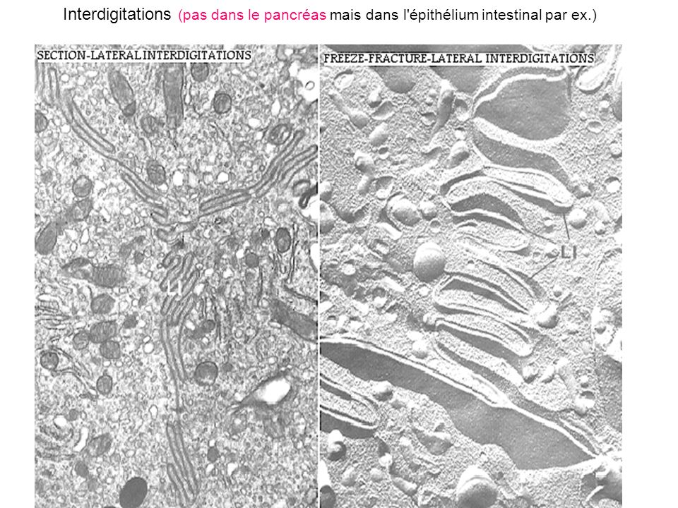 Interdigitations (pas dans le pancréas mais dans l épithélium intestinal par ex.)