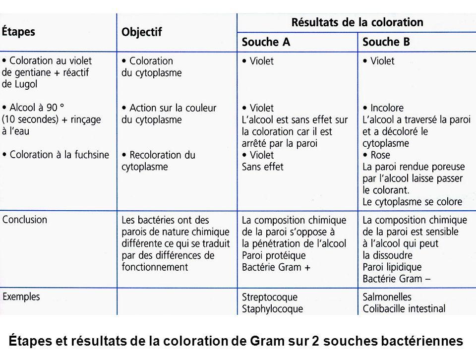 Étapes et résultats de la coloration de Gram sur 2 souches bactériennes
