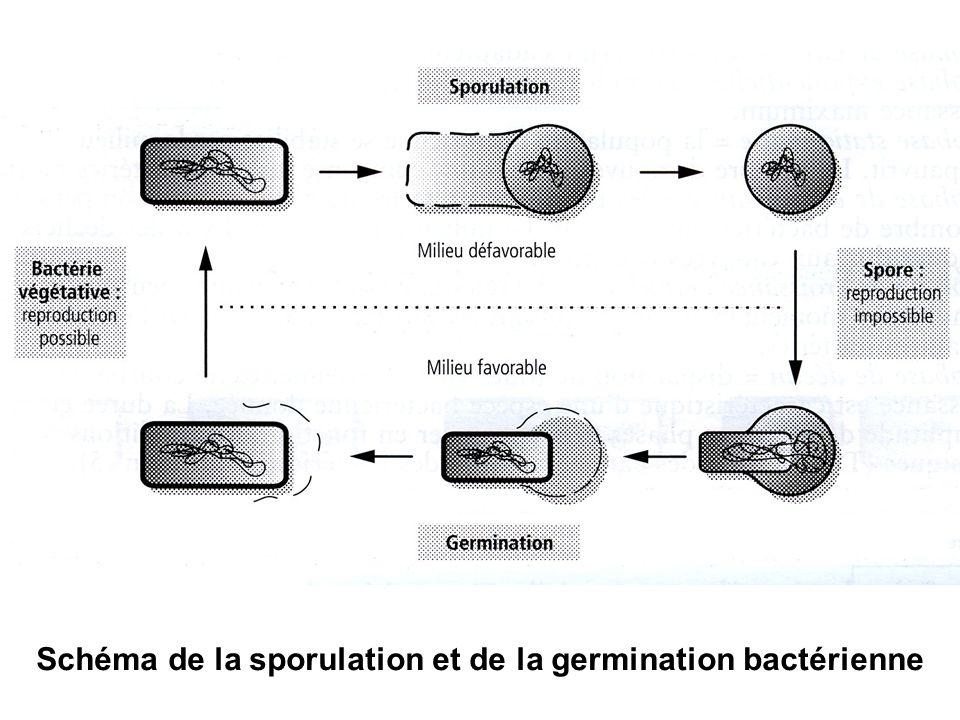Schéma de la sporulation et de la germination bactérienne