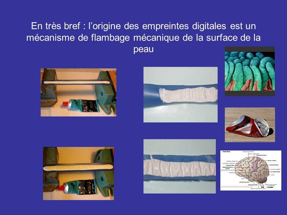 En très bref : l'origine des empreintes digitales est un mécanisme de flambage mécanique de la surface de la peau