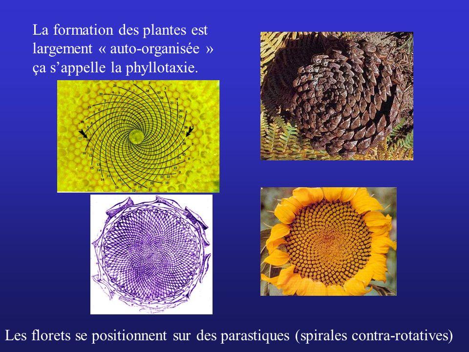 La formation des plantes est largement « auto-organisée »