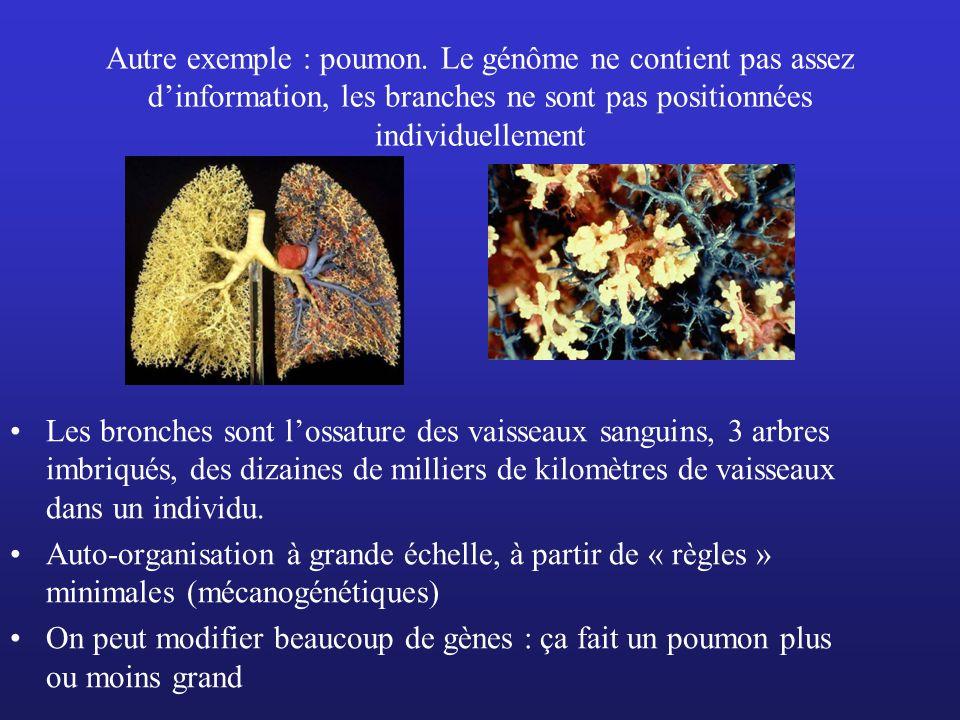 Autre exemple : poumon. Le génôme ne contient pas assez d'information, les branches ne sont pas positionnées individuellement