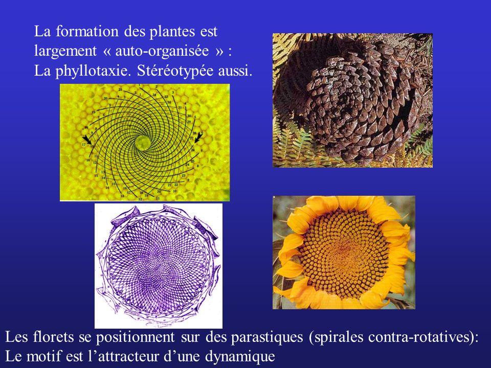 La formation des plantes est largement « auto-organisée » :