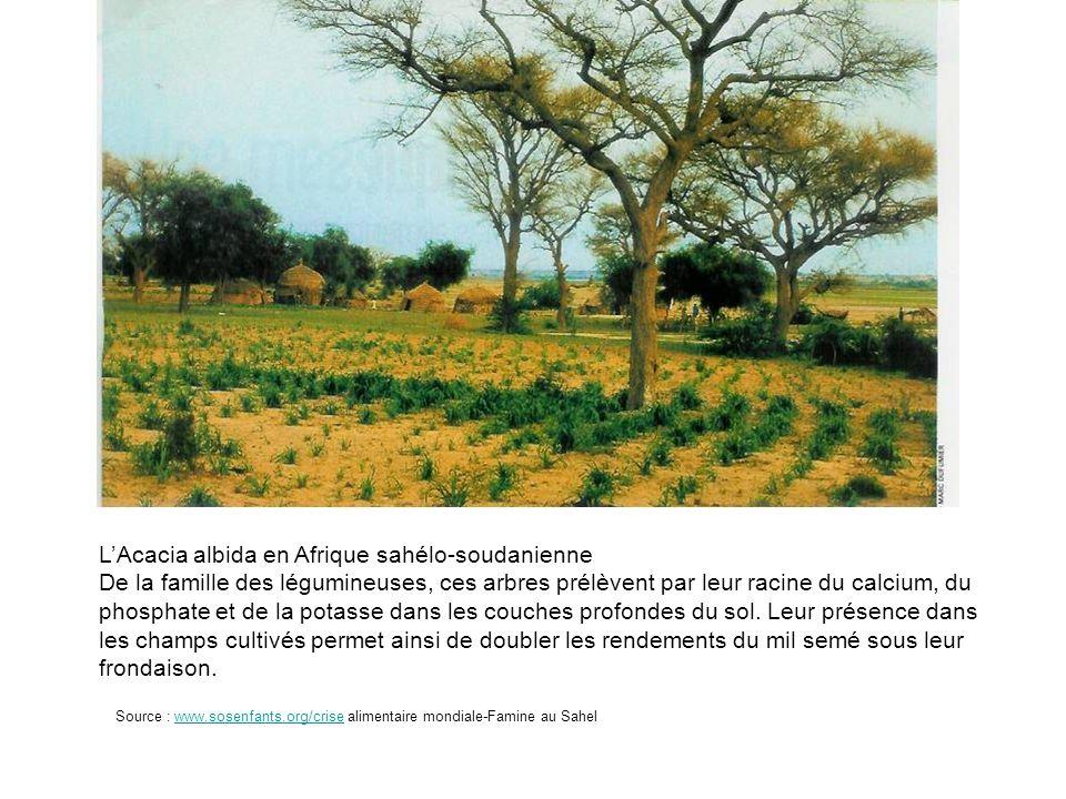 L'Acacia albida en Afrique sahélo-soudanienne