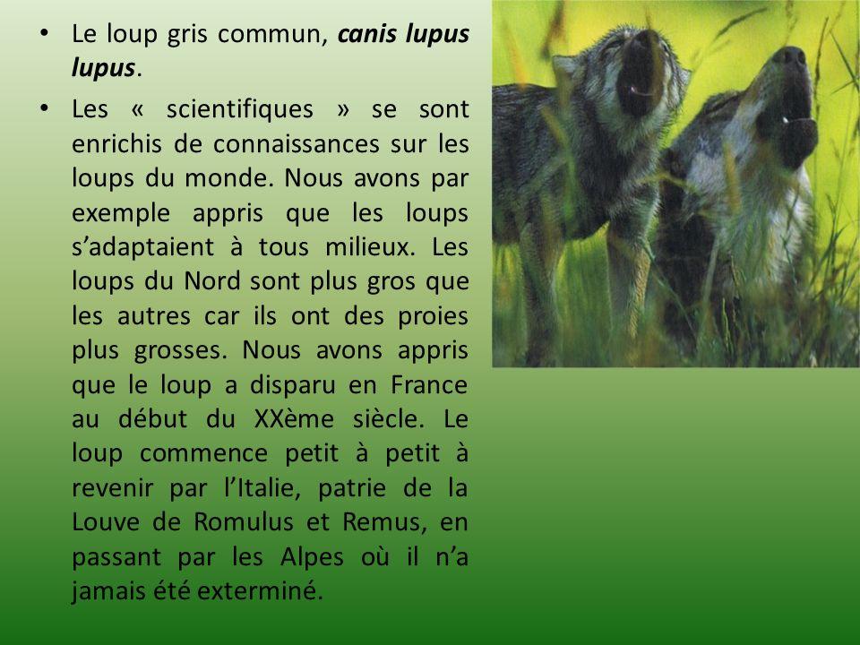 Le loup gris commun, canis lupus lupus.