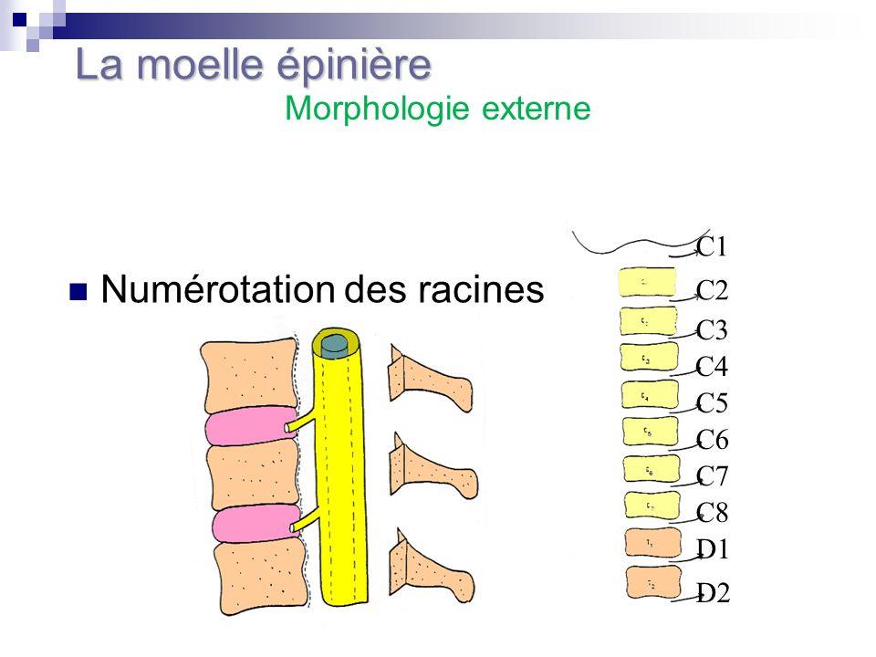 La moelle épinière Numérotation des racines Morphologie externe C1 C2