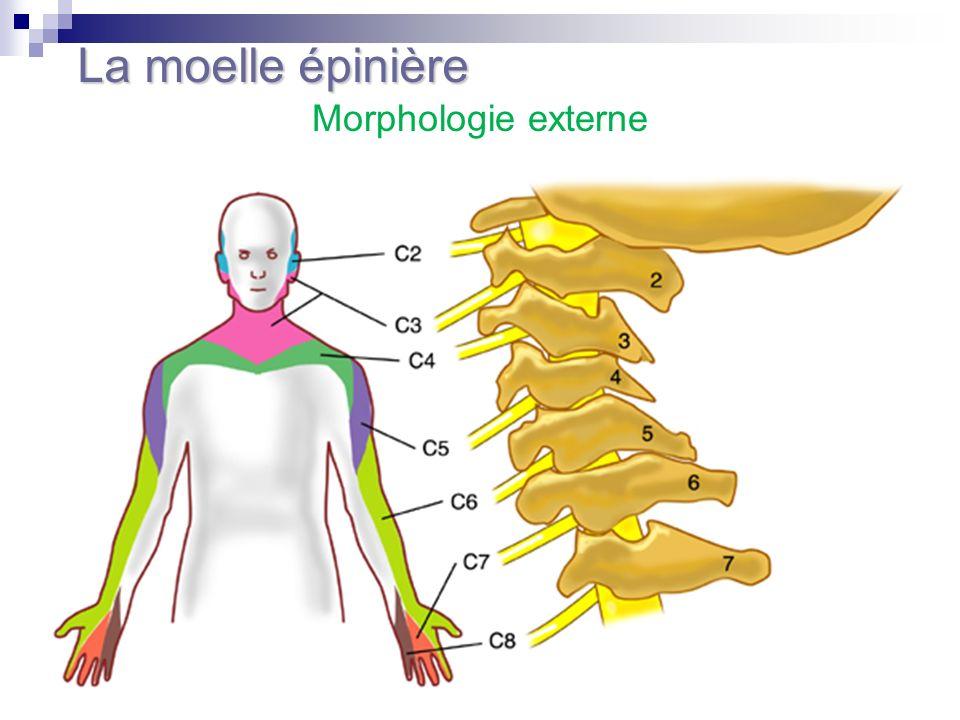 La moelle épinière Morphologie externe