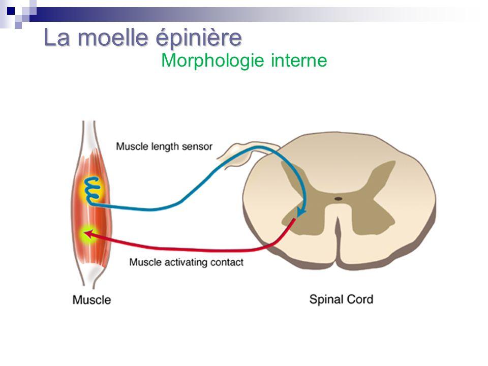 La moelle épinière Morphologie interne